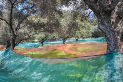 Olivenbäume auf Elba